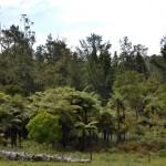 Typisch neuseeländische Farn-Gang im Regenwald