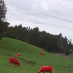 Pinke Schafe! (lacht)