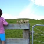 Neuseeländische Riesenschafe und alle heißen Alpaka!